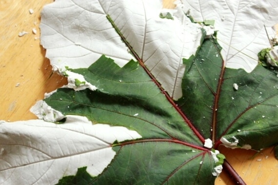 Leaf Casting with Plaster of Paris 30